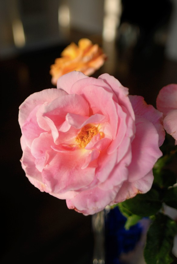 A pink rose of spring from the garden of Vincent Farrell!!
